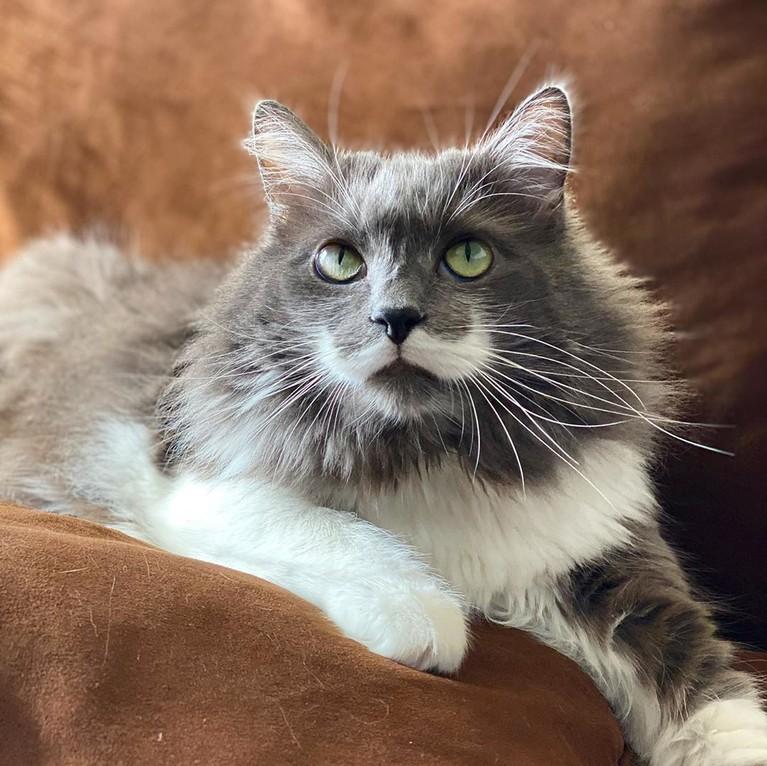Sama halnya dengan Hamilton. Selebgram kucing yang satu ini juga merasa kehilangan menadalam setelah ditinggalkan oleh Lil Bub. Dia menyebutkan agar pemiliknya diberikan ketabahan.