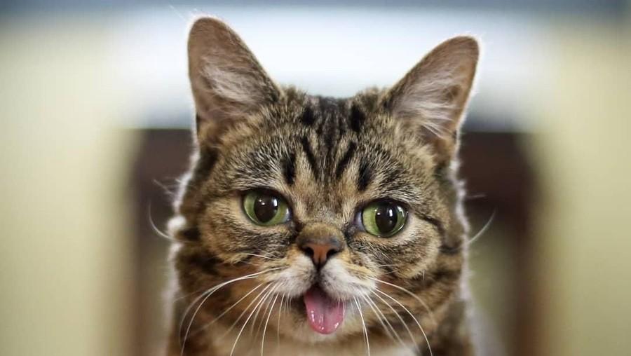 Sedih, Kucing Lucu Selebgram Lil Bub Mati dalam Tidur