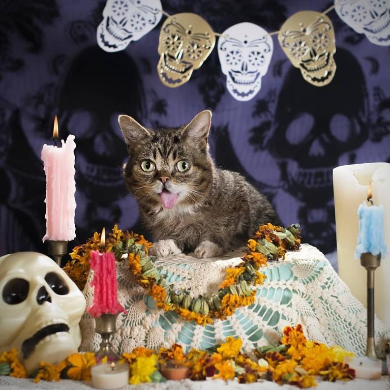 Kucing selebgram Feline Lil Bub mati setelah gagal melawan penyakit infeski tulang yang dideritanya. Berikut kumpulan foto menggemaskan Lil Bub semasa hidup.