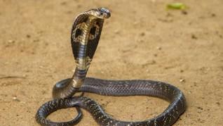 Pria India Divonis Bersalah Bunuh Istri Pakai Ular Kobra