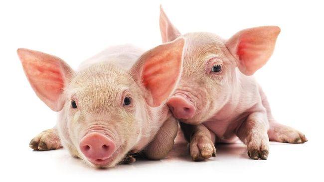Bali resmi menyatakan ratusan babi yang mati beberapa bulan terakhir diakibatkan oleh virus African Swine Fever (ASF) atau flu babi.