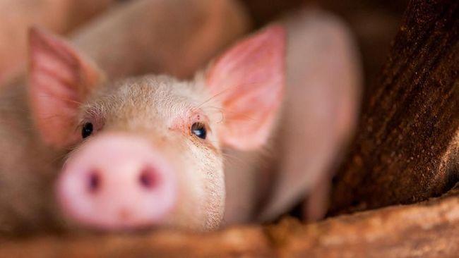 ilustrasi bayi babi