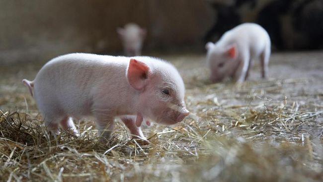 Chimera, hewan hasil campuran Babi dan Monyet baru saja lahir di China. Hal ini disebut-sebut menjadi spesies baru yang hadir untuk pertama kalinya di dunia.