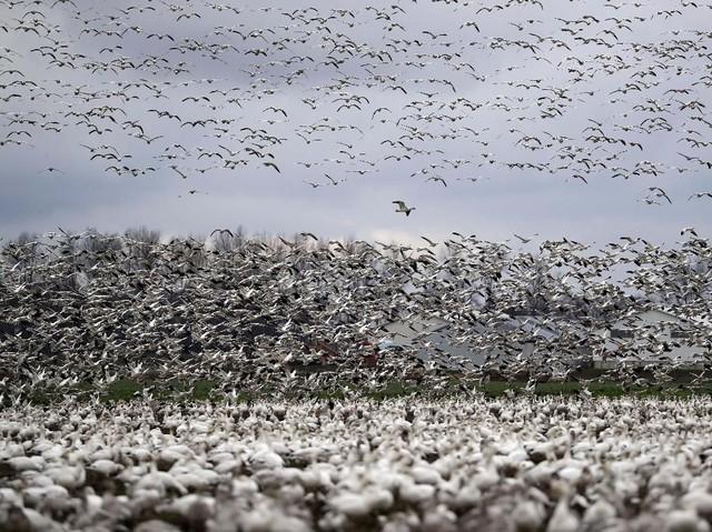 Melihat Puluhan Ribu Angsa Berkumpul di Lembah Skagit