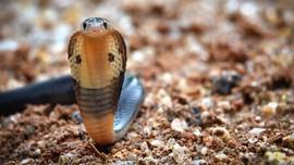 Alasan Ular Kobra Kawin hingga Telur Menetas di Musim Hujan