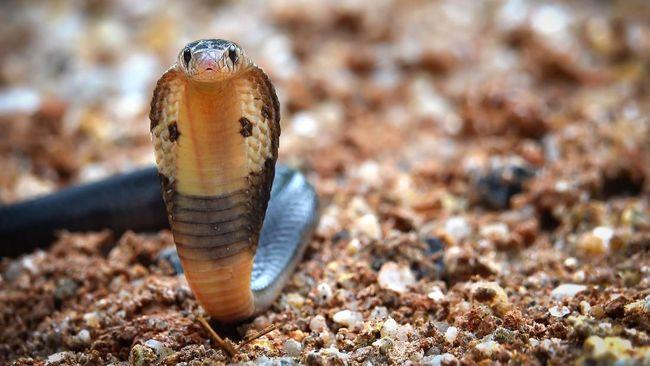 Ular kobra memasuki musim kawin sekitar April kemudian bertelur pada sekitar Juni dan Juli. Beberapa kemudian telur ular kobra menetas.