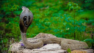 7 Negara Selain RI, Rumah bagi King Kobra yang Mematikan