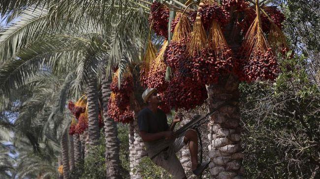 Pohon Kurma, yang masuk dalam daftar UNESCO terbaru, telah lama memainkan peran penting dalam perkembangan Arab.