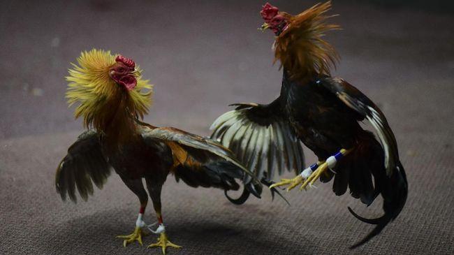Benarkah 8 Jenis Ayam Aduan Ini Terkuat di Dunia ?