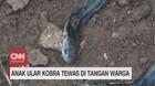VIDEO: Anak Ular Kobra Tewas di Tangan Warga