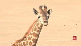 VIDEO: Bayi Jerapah Tampil di Kebun Binatang Meksiko
