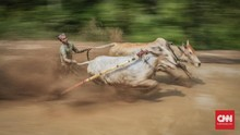 Pakai Masker dan Jaga Jarak di Pacu Jawi Tanah Datar