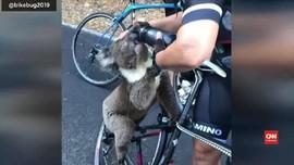 VIDEO: Seekor Koala Kehausan Akibat Karhutla