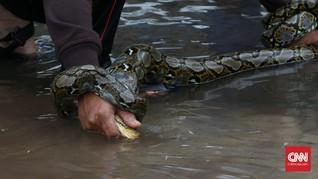 Piton Hingga Kobra Banyak Ditemukan Saat Banjir