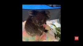 VIDEO: Bayi Koala Selamat dari Kebakaran Hutan Australia