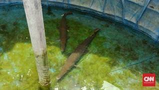 Fakta Ikan Aligator Peliharaan Santri Yusuf Mansur