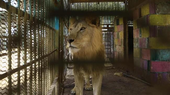 Lima ekor singa di Sudan bernasib miris, badannya kurus kering karena malnutrisi dan kekurangan obat-obatan.