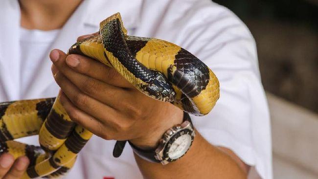 Mengenal Bahaya Ular Weling yang Tewaskan Bocah di Bandung