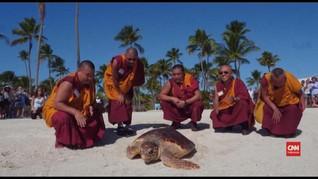 VIDEO: Biksu Lepas Penyu yang Terancam Punah di Florida