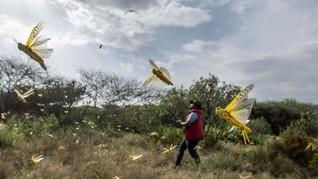FOTO: Ratusan Juta Hama Belalang Serang Kenya