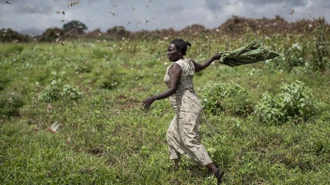 A farmer waves her shawl in the air to try to chase away swarms of desert locusts from her crops, in Katitika village, Kitui county, Kenya Friday, Jan. 24, 2020. Desert locusts have swarmed into Kenya by the hundreds of millions from Somalia and Ethiopia, countries that haven't seen such numbers in a quarter-century, destroying farmland and threatening an already vulnerable region. (AP Photo/Ben Curtis)