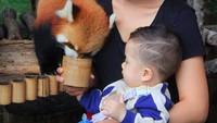 <p>Salah satunya, mengajak Abidzar ke Taman Safari. Ia terlihat santai saja ketika diajak sang ibu untuk memberi makan red panda atau panda merah. (Foto: Instagram @selvikitty)</p>