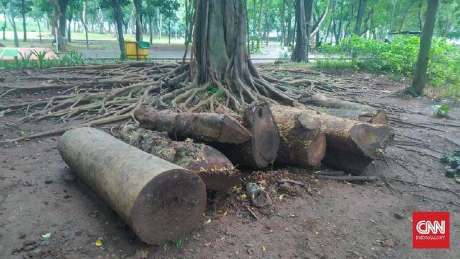 Sejumlah dinas di Pemprov DKI Jakarta saling lempar tanggung jawab soal keberadaan Pohon mahoni yang ditebang di dalam Monas hasil revitalisasi.