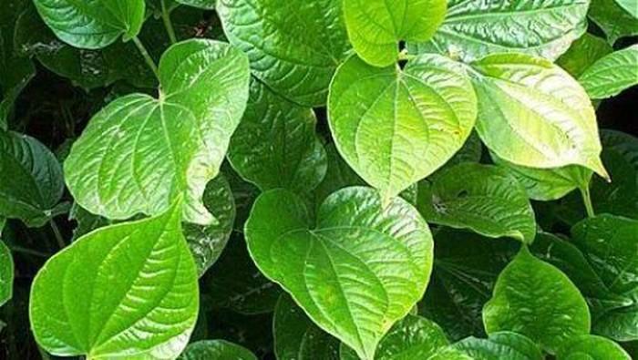 Bahan Herbal Efektif Mengatasi Bau Mulut