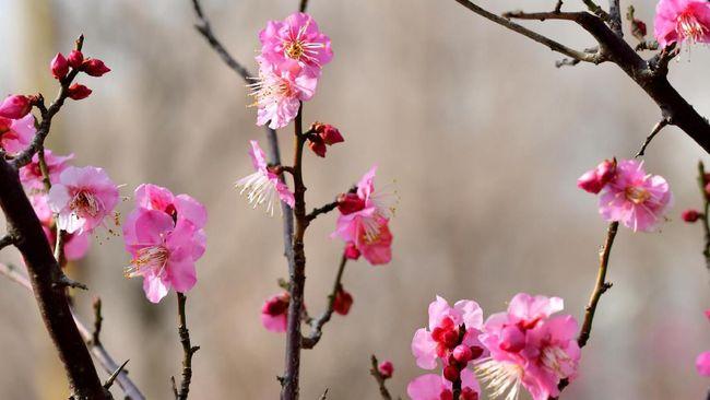 Musim mekar pohon plum tak kalah populer dengan musim mekar bunga sakura di Jepang.