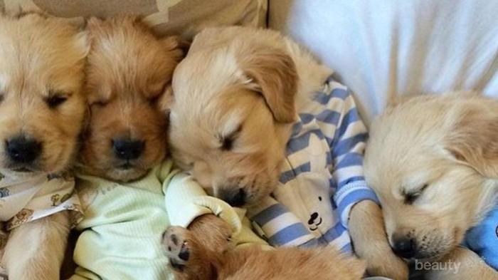Melihat Imutnya Anjing Berpiyama Berikut Dapat Cerahkan Harimu (Part 2)