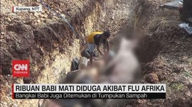 VIDEO: Ribuan Babi Mati Diduga Akibat Flu Afrika