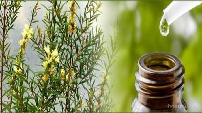 Manfaat Tea Tree Oil Untuk Kulit
