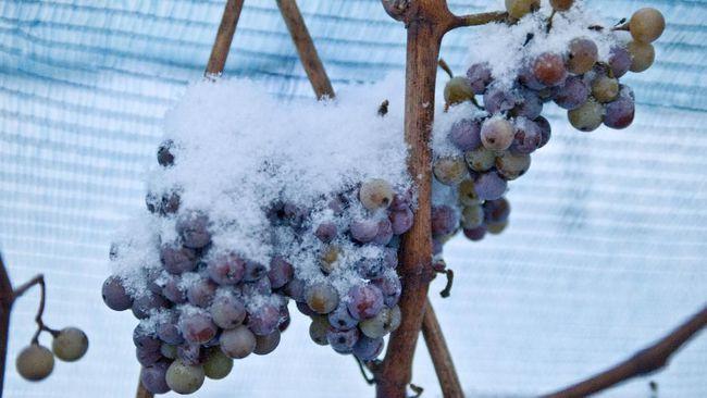 Musim dingin yang hangat di German membuat daerah ini kemungkinan gagal produksi ice wine, wine mahal khas German.