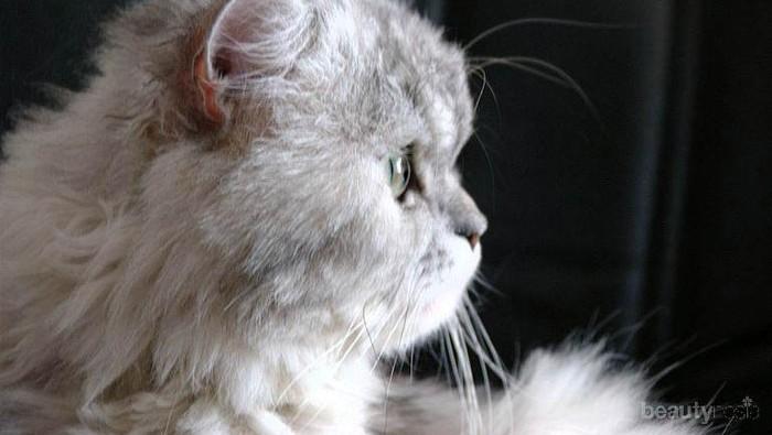 Cara Membedakan Kucing Anggora dan Kucing Persia