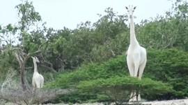 Jerapah Putih, Hewan Terlangka di Bumi Mati
