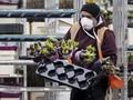 FOTO: Wabah Corona Hancurkan Jutaan Bunga Tulip Belanda