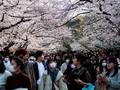 FOTO: Pikat Mekar Sakura di Tengah Pandemi Corona