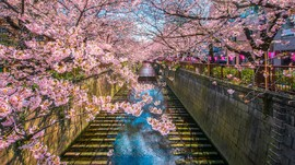 8 Lokasi Nikmati Mekar Sakura, dari Jepang sampai Indonesia