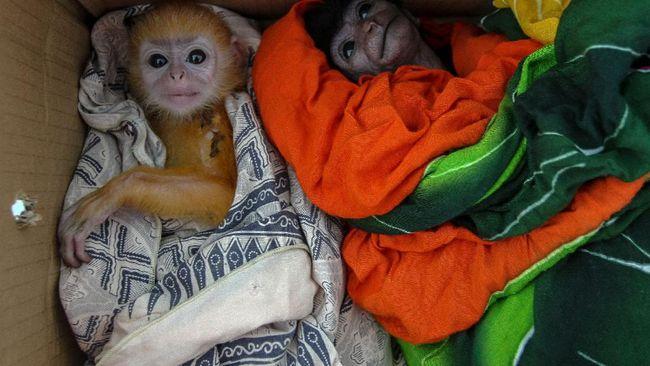 Lembaga independen nonprofit, Profauna Indonesia mengungkap pandemi Covid-19 meningkatkan jumlah perburuan dan perdagangan ilegal satwa liar.