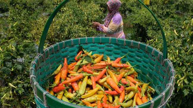 Mendag Lutfi mencatat harga cabai rawit yang sempat menyentuh Rp120 ribu per Kg sudah mulai turun ke kisaran Rp60 ribu per Kg di Kota Bandung, Jawa Barat.