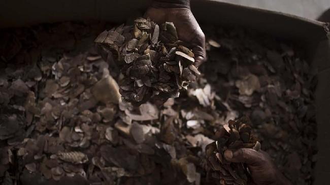 Trenggiling menjadi korban perburuan massal untuk diambil daging dan sisiknya, terutama ke pasar gelap di China.