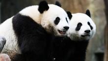 Jepang Gembira Sambut Kelahiran Bayi Panda Kembar