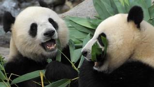 Kebun Binatang Kanada Krisis Bambu, Panda Mudik ke China