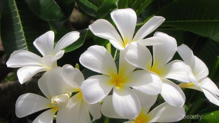Gak Banyak Yang Tahu Inilah Manfaat Bunga Melati Untuk Kesehatan