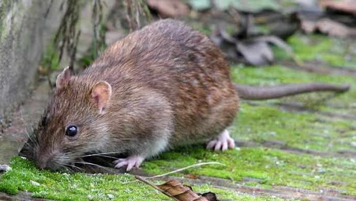 Rumahmu Penuh Tikus? Ketahui 6 Cara Ampuh untuk Mengusirnya!