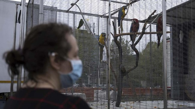 A volunteer wearing a facemask for protective measures visits the parrots of the