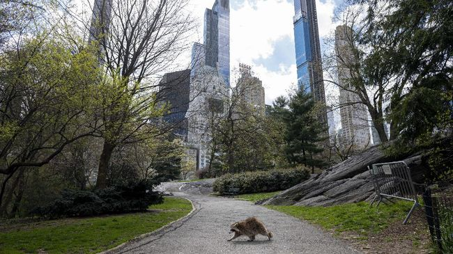 A racoon walks in almost deserted Central Park in Manhattan on April 16, 2020 in New York City. - Gone are the softball games, horse-drawn carriages and hordes of tourists. In their place, pronounced birdsong, solitary walks and renewed appreciation for Central Park's beauty during New York's coronavirus lockdown. The 843-acre (341-hectare) park -- arguably the world's most famous urban green space -- normally bustles with human activity as winter turns to spring, but this year due to Covid-19 it's the wildlife that is coming out to play. (Photo by Johannes EISELE / AFP)