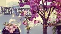 Pohon Sakura yang ditanam Angie pada 2014 lalu punkembalibermekaran di musim semi ini. (Foto: Instagram @angie_virgin)