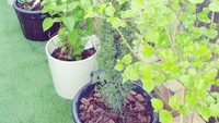 Koleksi tanaman Angie 'Virgin' lainnya. (Foto: Instagram @angie_virgin)