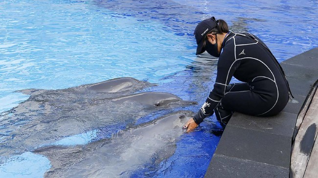 A trainer wears face a mask as she trains dolphins at a conservation center in Bali, Indonesia on Tuesday, April 28, 2020 during a temporal closure to public due to the concerns over a new coronavirus infection. All tourist attractions and sites have been asked to temporarily close as a measure to control the spread of the virus outbreak. (AP Photo/Firdia Lisnawati)